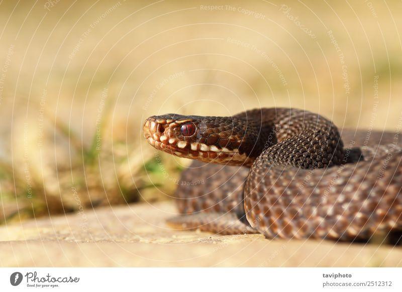 braune Vipera berus aus nächster Nähe schön Frau Erwachsene Natur Tier Wildtier Schlange wild grau Angst gefährlich Natter Ottern furchterregend Tierwelt