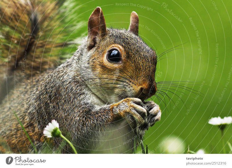 Nahaufnahme der Grauhörnchenfläche Essen Gesicht Sommer Garten Natur Tier Park Pelzmantel füttern sitzen klein lustig natürlich niedlich wild braun grau