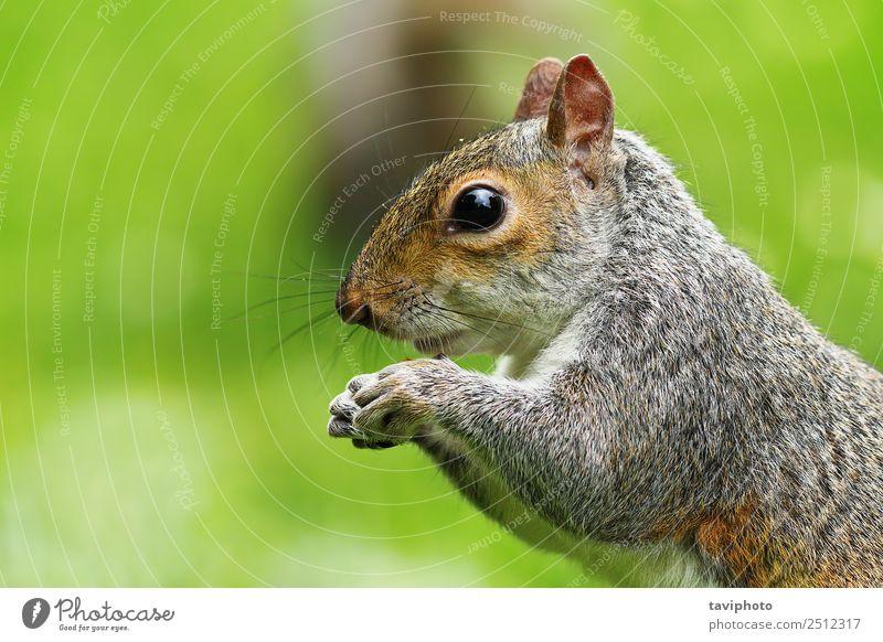 Nahaufnahme des hungrigen Grauhörnchens Essen schön Natur Tier Park Wald Pelzmantel Wildtier füttern Freundlichkeit klein lustig natürlich niedlich wild braun