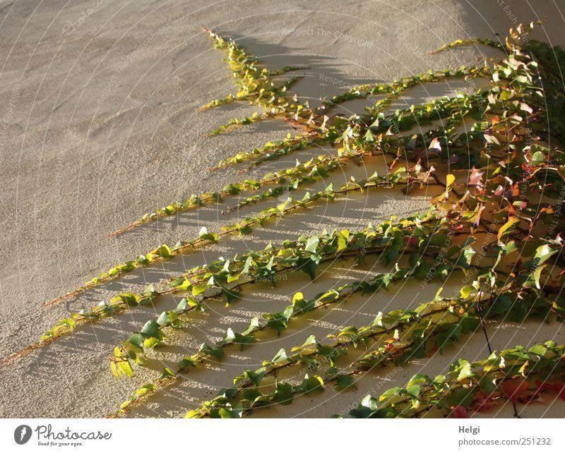 Chamansülz | 555 | immer an der Wand lang... Natur grün Pflanze Blatt gelb Wand Umwelt grau Mauer braun ästhetisch natürlich Wachstum authentisch Wandel & Veränderung einzigartig