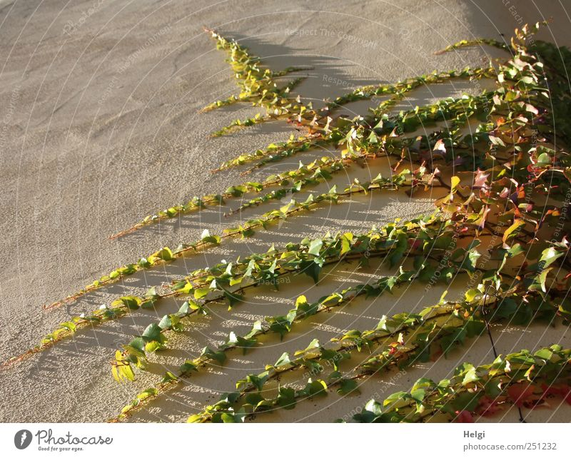 Chamansülz | 555 | immer an der Wand lang... Natur grün Pflanze Blatt gelb Umwelt grau Mauer braun ästhetisch natürlich Wachstum authentisch