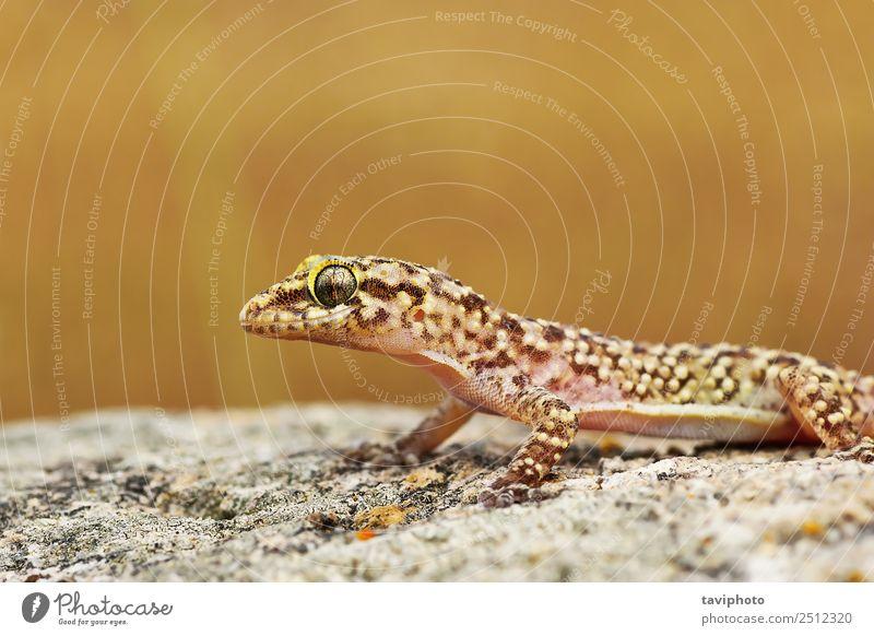 Nahaufnahme des wilden türkischen Geckos schön Haut Haus Natur Tier natürlich niedlich braun grau Farbe Bild Tierwelt Halbfinger-Gecko Turcicus Hintergrund