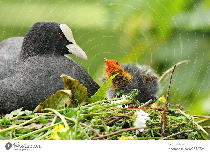 Blässhuhn mit Huhn im Nest schön Familie & Verwandtschaft Umwelt Natur Tier Teich See Fluss Vogel klein niedlich wild braun grau schwarz Frühling Hähnchen