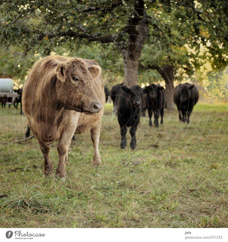 CHAMANSÜLZ | kurz vor der kaffeepause Umwelt Natur Landschaft Pflanze Tier Baum Gras Grünpflanze Wiese Kuh Tiergruppe Herde natürlich braun grün schwarz