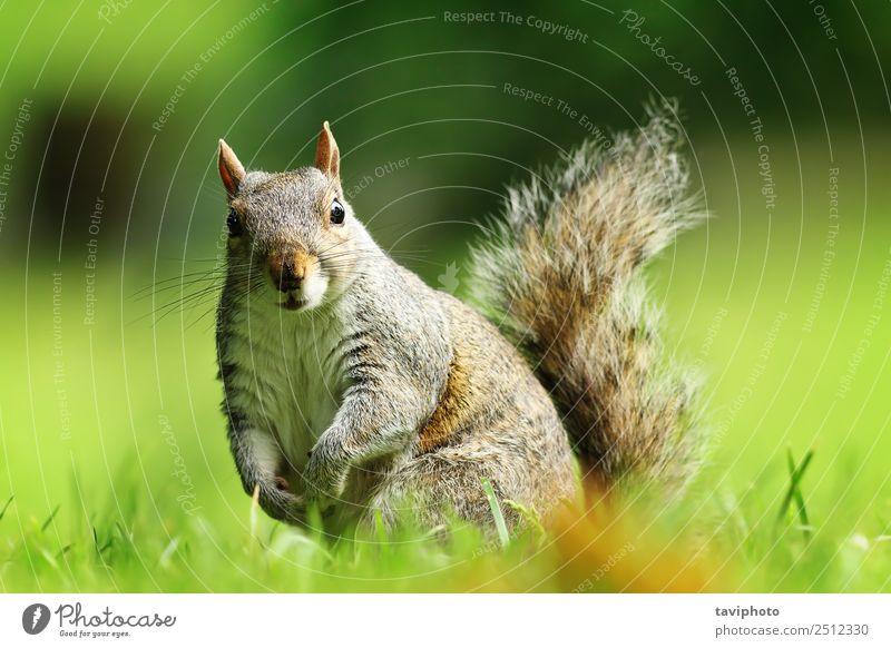neugieriges graues Eichhörnchen mit Blick auf die Kamera schön Garten Natur Tier Gras Park Pelzmantel sitzen stehen klein lustig natürlich Neugier niedlich wild