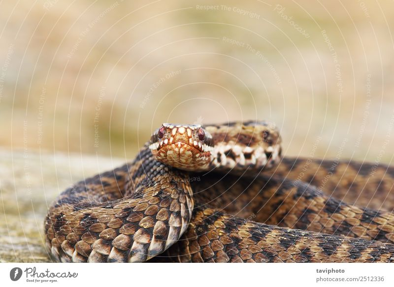 Frau Natur schön Tier Erwachsene natürlich braun wild Haut gefährlich Fotografie Lebewesen Europäer Schlange Gift Reptil