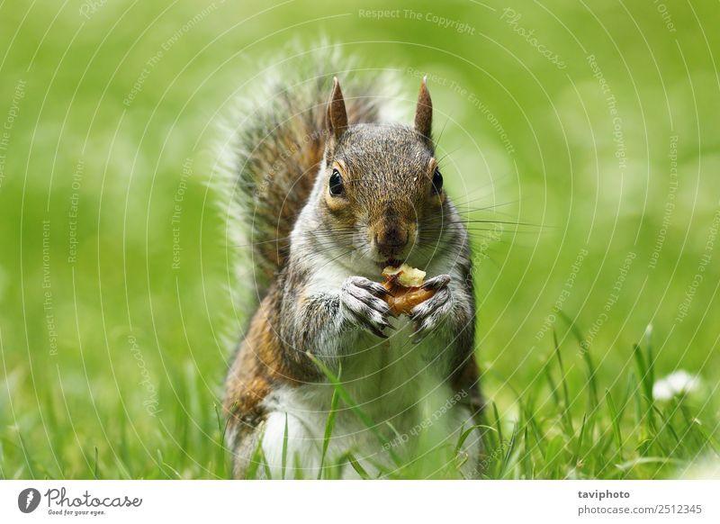 graues Eichhörnchen frisst Nuss auf dem Rasen Essen schön Garten Natur Tier Gras Park Wald Pelzmantel füttern sitzen stehen klein lustig natürlich niedlich wild