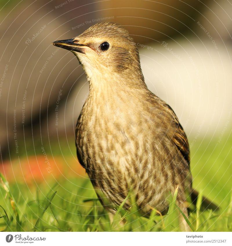 jugendlicher Star auf dem Rasen schön Leben Sommer Garten Jugendliche Umwelt Natur Landschaft Tier Vogel natürlich niedlich wild braun grün Farbe Tierwelt