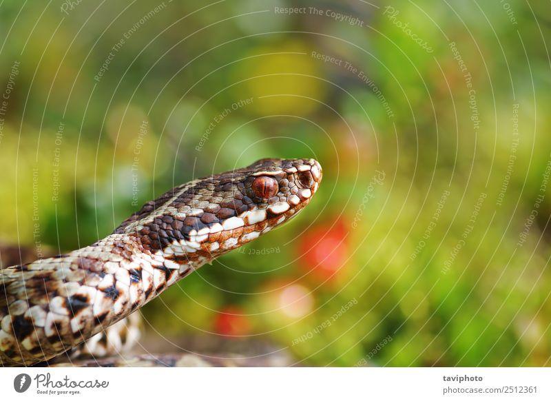 Natur schön Tier natürlich grau braun wild Angst Wildtier gefährlich Fotografie Europäer Schlange Gift Reptil gekreuzt