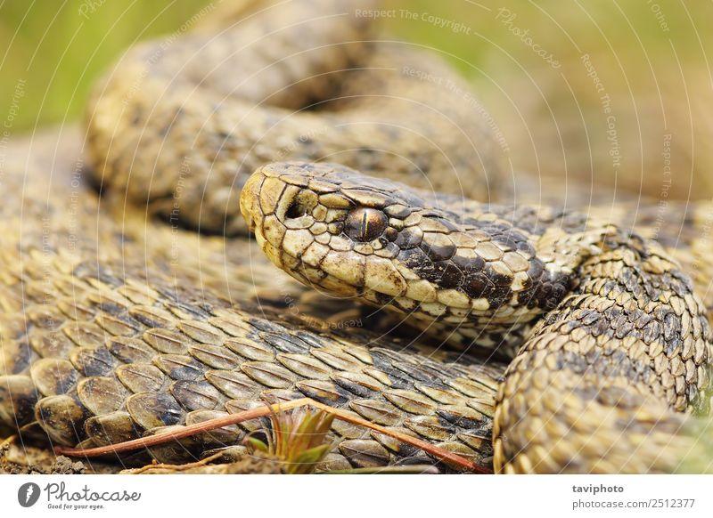 Frau Natur schön Tier Erwachsene Wiese klein braun wild Angst gefährlich Fotografie Lebewesen Europäer Schlange Gift