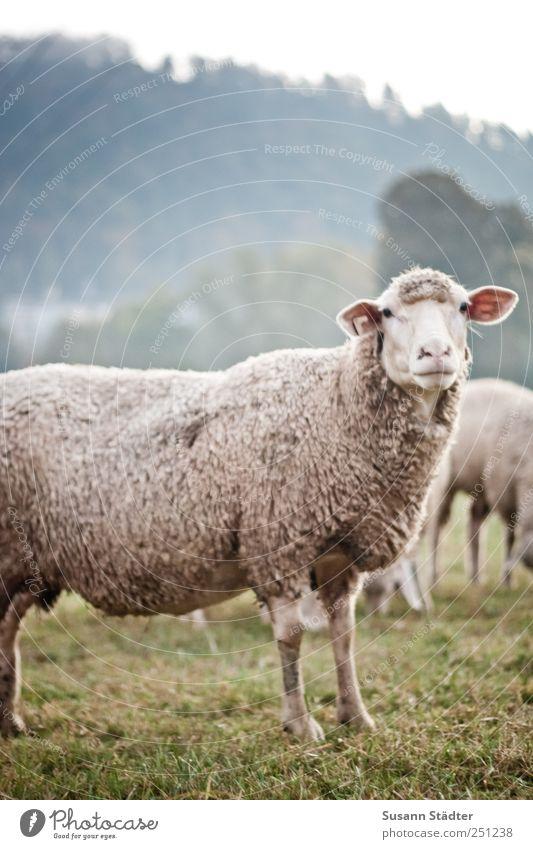 [CHAMANSÜLZ 2011] Huschel Wiese Feld Angst warten Wildtier Tiergesicht beobachten hören kuschlig Respekt Wolle Nutztier Herde Schafherde Menschlichkeit Schafswolle
