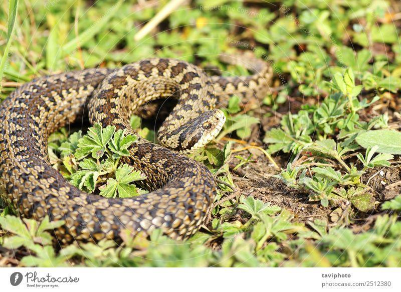 Natur schön Tier Wiese Gras braun wild Angst Europa gefährlich Fotografie Boden Lebewesen Europäer Schlange Reptil