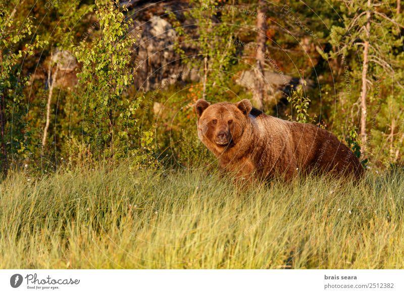 Braunbär Biologe Jäger Umwelt Natur Tier Erde Gras Wald Finnland Wildtier Bär 1 natürlich wild braun Tierliebe Angst Umweltschutz Tiere Tierwelt Akkordata