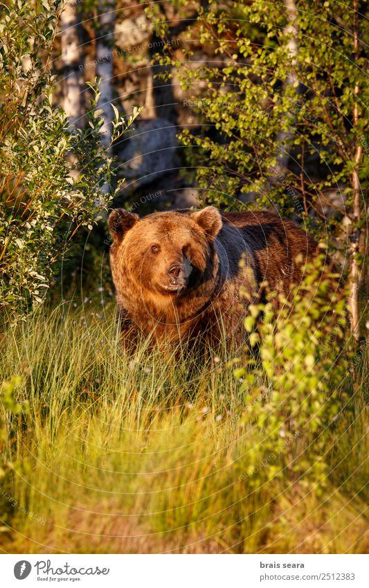 Braunbär Abenteuer Biologie Biologe Jäger Umwelt Natur Tier Erde Wald Wildtier Bär 1 wild Tierliebe Todesangst Umweltschutz Tiere Tierwelt Akkordata Wirbeltier