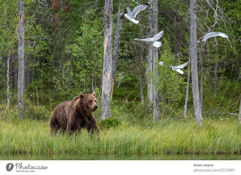 Braunbär Abenteuer Wissenschaften Biologie Umwelt Natur Tier Wasser Erde Baum Wald See Finnland Wildtier Vogel Bär Möwe 1 Tiergruppe Tierliebe Tiere Tierwelt