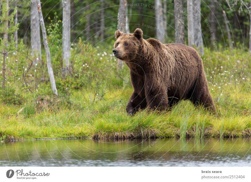 Braunbär Abenteuer Wissenschaften Umwelt Natur Tier Wasser Erde Baum Wald See Finnland Europa Wildtier Bär 1 wild Tierliebe Interesse Umweltschutz Tiere