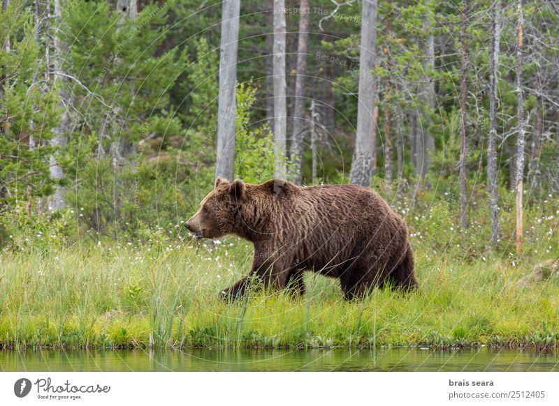 Braunbär Abenteuer Safari Expedition Wissenschaften Umwelt Natur Tier Wasser Erde Baum Wald See Finnland Wildtier Bär 1 wild Tierliebe Umweltschutz Tiere