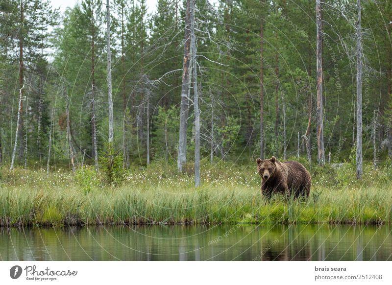 Braunbär Abenteuer Wissenschaften Umwelt Natur Landschaft Tier Wasser Erde Baum Wald Finnland Wildtier Bär 1 Blick wild braun Tierliebe Umweltschutz Tiere