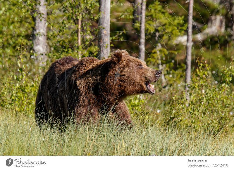 Braunbär Abenteuer Safari Wissenschaften Biologie Fotograf Jäger Umwelt Natur Tier Erde Wald Finnland Europa Wildtier Tiergesicht Bär 1 sprechen schreien