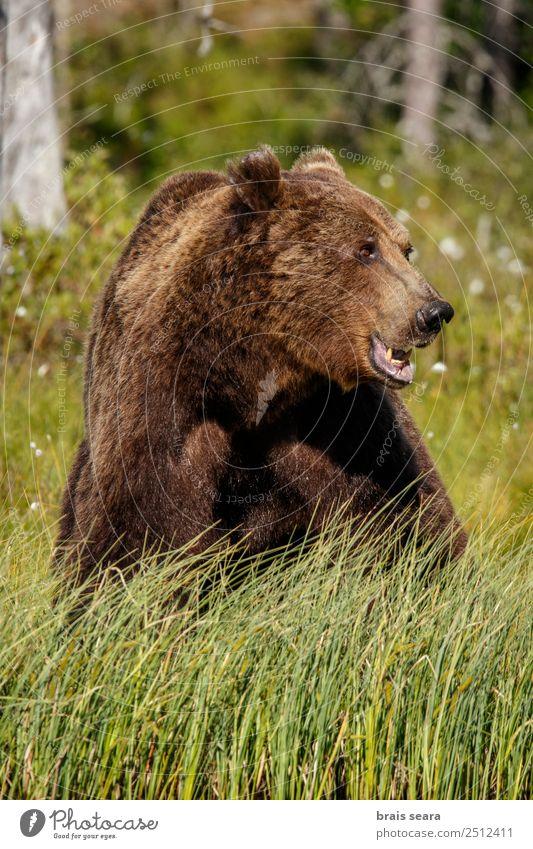 Braunbär Abenteuer Safari Wissenschaften Umwelt Natur Tier Erde Wald Wildtier Bär 1 füttern Aggression natürlich wild braun grün Tierliebe Angst Respekt