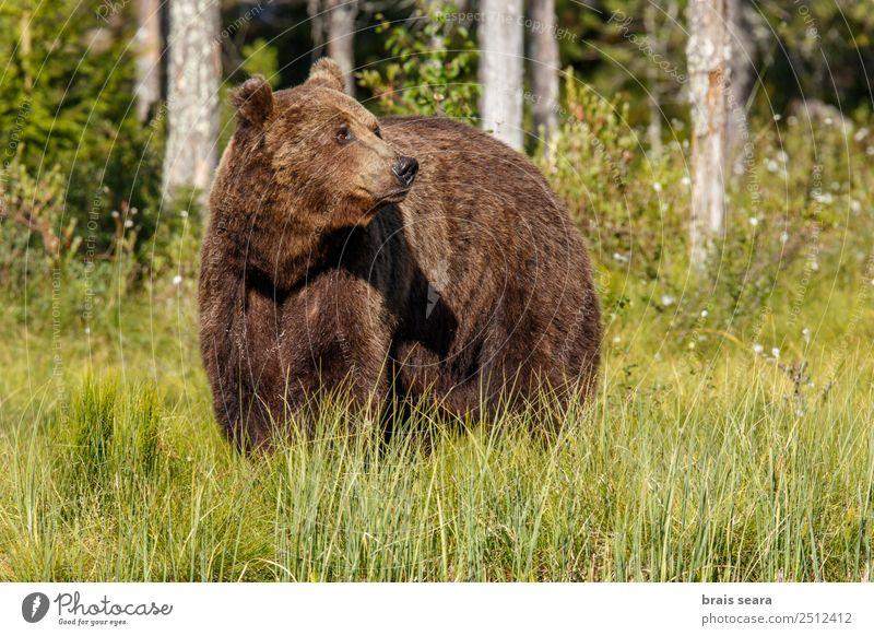 Braunbär Abenteuer Wissenschaften Umwelt Natur Tier Erde Baum Gras Wald Wildtier Bär 1 frei natürlich wild braun Tierliebe Umweltschutz Tiere Tierwelt Akkordata