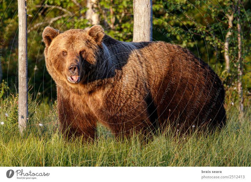 Braunbär Abenteuer Biologe Jäger Umwelt Natur Tier Erde Wald Wildtier Bär 1 wild braun Tierliebe Angst Umweltschutz Tiere Tierwelt Akkordata Wirbeltier