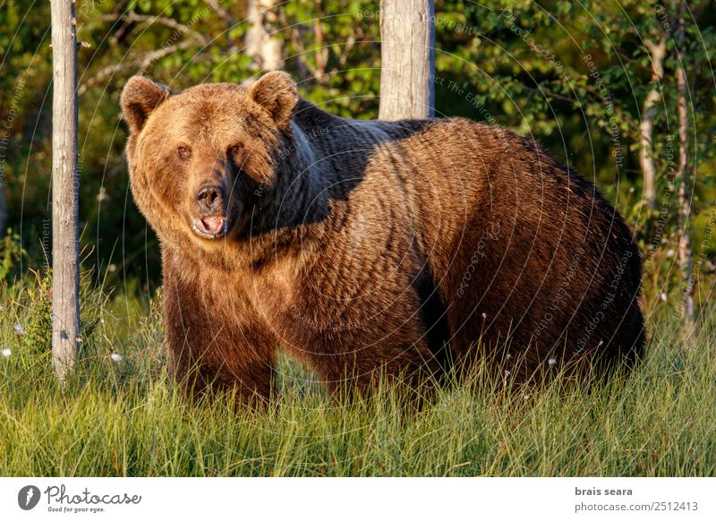 Natur Tier Wald Umwelt Erde braun wild Angst Wildtier Abenteuer Säugetier Umweltschutz Bär Tierliebe Jäger Finnland