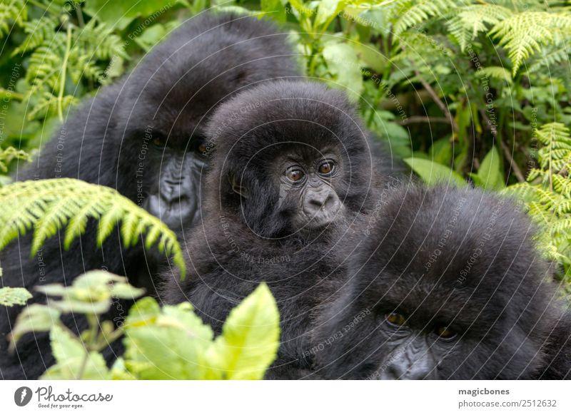 Drei Gorillas Berge u. Gebirge Familie & Verwandtschaft Jugendliche Menschengruppe Natur Urwald sitzen Afrika Östlich Ruanda Virunga Vulkane National
