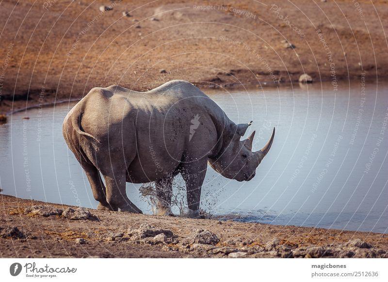 Spitzmaulnashorn, Namibia trinken Spielen Tourismus Safari Natur Landschaft Tier Park Wildtier 1 wild grau Nashorn gefährdet Wasserstelle Afrikanisch Tierwelt