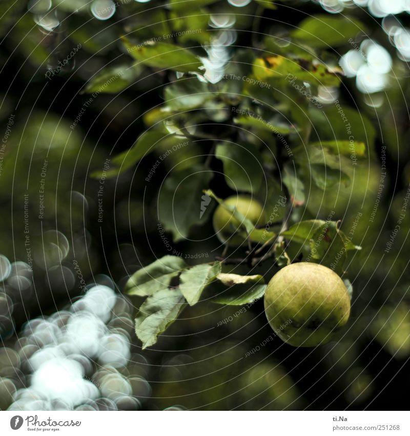 Sauer macht lustig Lebensmittel Apfel Ernährung Bioprodukte Garten Umwelt Natur Landschaft Tier Baum Apfelbaum Wiese hängen natürlich sauer gelb grün schwarz