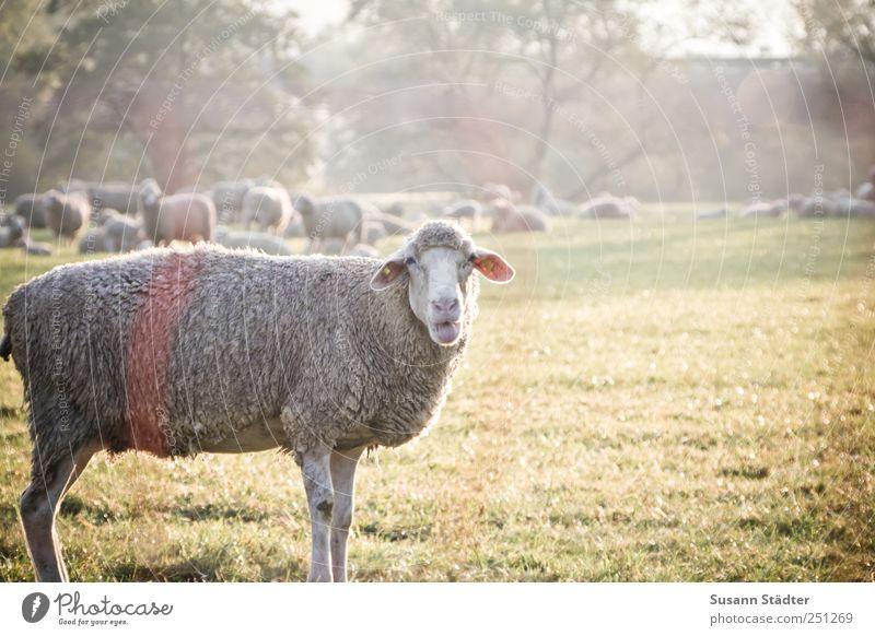 [CHAMANSÜLZ 2011] Wolle Petry Tier Wiese sprechen Feld Tiergruppe Nutztier Herde