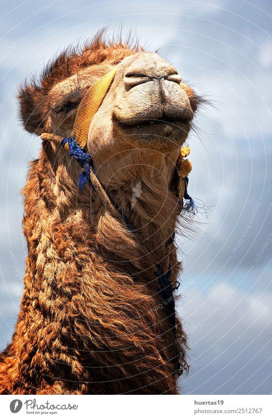 Kamele in Freiheit Ferien & Urlaub & Reisen Strand Meer Natur Tier Wildtier 1 Aggression groß wild blau braun Tanger Marokko Tiere typisch Feiertage