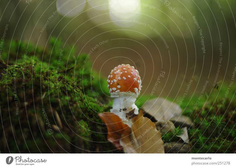 Ungenießbar Umwelt Natur Schönes Wetter Moos Farn Wald klein schön wild braun grün rot weiß Abenteuer Kitsch Pilz Gift Fliegenpilz Farbfoto mehrfarbig