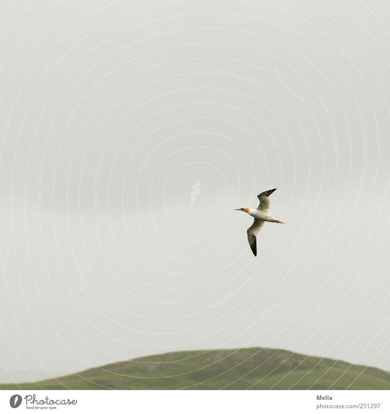 Sein Umwelt Natur Luft Himmel Hügel Tier Vogel Basstölpel 1 Bewegung fliegen frei grau Freiheit Schottland Farbfoto Außenaufnahme Menschenleer