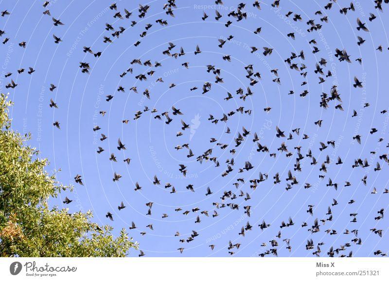 Aufbruch Wolkenloser Himmel Tier Vogel Schwarm fliegen viele reisend Versammlung Zugvogel Star flüchten Farbfoto mehrfarbig Außenaufnahme Muster Menschenleer