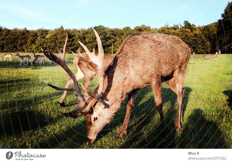 Sunset-Hirsch Gras Wiese Tier Wildtier Tiergruppe Herde groß Hirsche Horn Fressen Farbfoto Außenaufnahme Morgendämmerung Abend Dämmerung Sonnenlicht Tierporträt