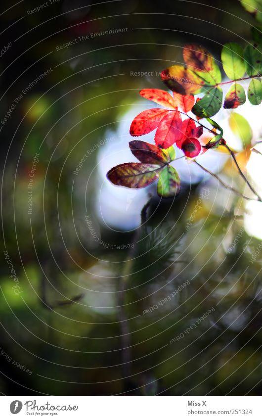 Herbstrot Natur Pflanze Baum Sträucher Blatt leuchten filigran Transparente Ast Zweig Zweige u. Äste Hundsrose Herbstlaub herbstlich Farbfoto mehrfarbig
