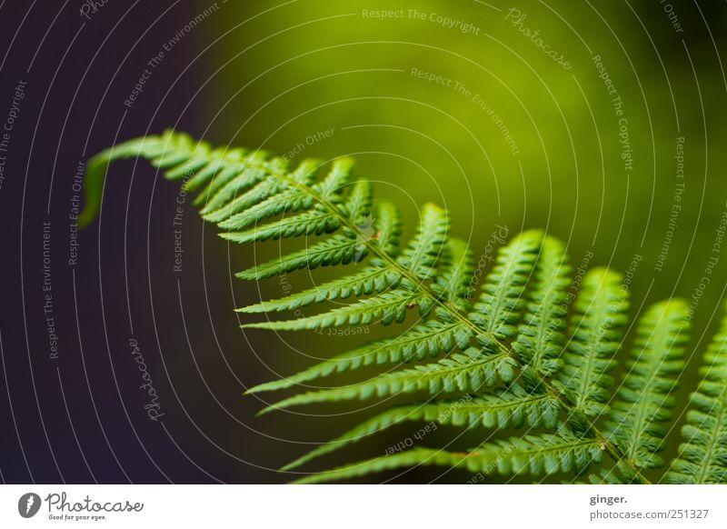 Fern, doch Farn Umwelt Natur Pflanze Blatt Grünpflanze Wildpflanze Wiese authentisch grün aufgefächert hängen wedeln Farbfoto Gedeckte Farben Außenaufnahme