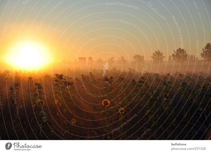 ... und es ward Licht. Himmel Natur Baum Pflanze Sonne Herbst Umwelt Landschaft hell Feld Horizont Nebel Sträucher Schönes Wetter Sonnenblume Wolkenloser Himmel