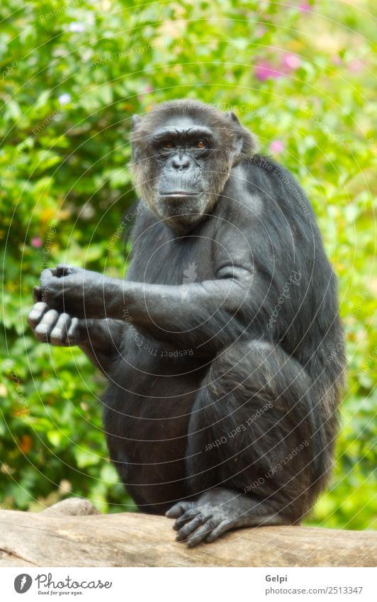 Affe Mensch Frau Erwachsene Zoo Tier Urwald Fluss Denken sitzen niedlich schwarz Afrika Vorfahren Menschenaffen Pavian Biest Schimpanse Schimpansen betrachten