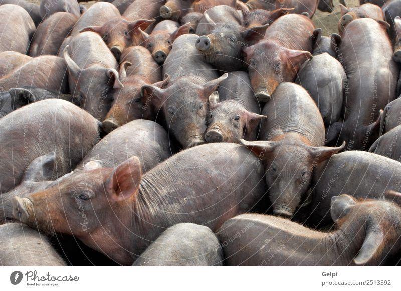 Eine große Gruppe kleiner Schweine in einem Bauernhof Marmelade Baby Menschengruppe Tier Dorf Herde füttern dreckig chaotisch Tiere Speck Scheune Land Gehege