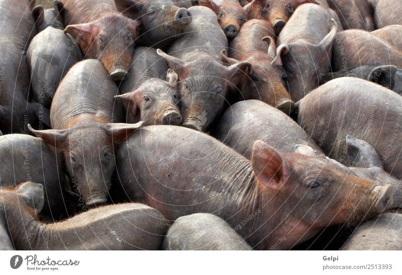 Viele überfüllte Schweine in einem Bauernhof. Fleisch Business Baby Menschengruppe Tier füttern dreckig Zusammensein wild braun Ackerbau Speck Scheune Eber