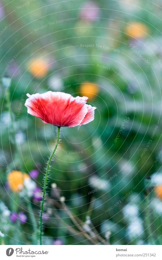 [CHAMANSÜLZ 2011] Haarig, rot und grün Umwelt Natur Pflanze Blume Blüte Wildpflanze Mohn Mohnblüte Wiese Blühend stehen Wachstum schön Duft elegant haarig