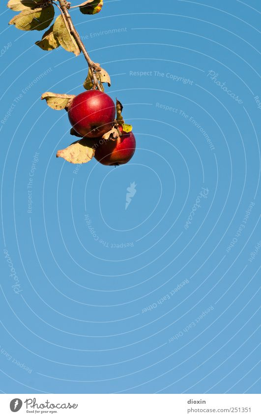 [CHAMANSÜLZ 2011] Baum der Erkenntnis -2- Lebensmittel Frucht Apfel Ernährung Bioprodukte Vegetarische Ernährung Himmel Wolkenloser Himmel Schönes Wetter