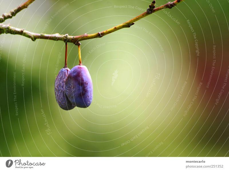 Hänger Natur blau grün Baum Sommer Wiese Umwelt Lebensmittel Frucht süß lecker Schönes Wetter Pflaume
