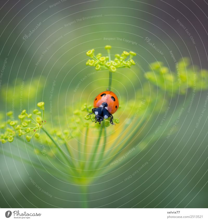 Farbtupfer Umwelt Natur Frühling Sommer Pflanze Blüte Nutzpflanze Dillblüten Doldenblüte Garten Tier Käfer Marienkäfer Siebenpunkt-Marienkäfer Insekt 1 krabbeln