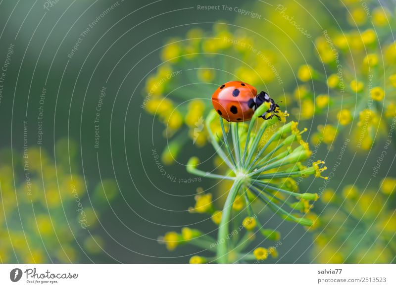 am Dill naschen Umwelt Natur Tier Sommer Pflanze Blüte Nutzpflanze Dillblüten Heilpflanzen Garten Käfer Marienkäfer Siebenpunkt-Marienkäfer Blühend Wachstum
