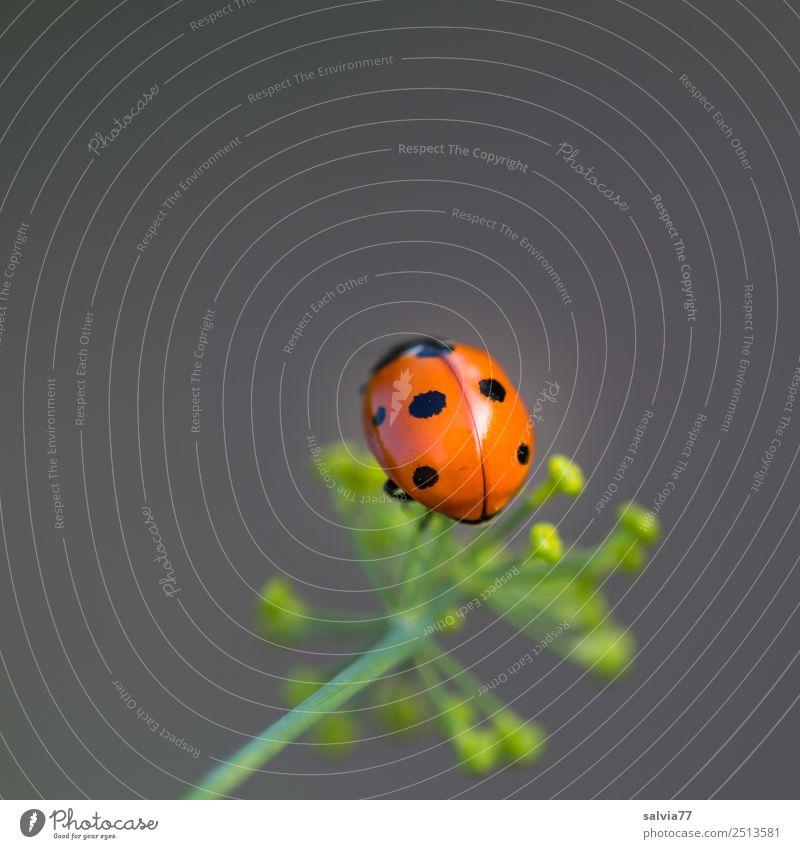 oben Natur Sommer Pflanze Blume Blüte Dillblüten Garten Tier Käfer Marienkäfer Siebenpunkt-Marienkäfer Insekt 1 krabbeln Frühlingsgefühle ästhetisch Duft Glück