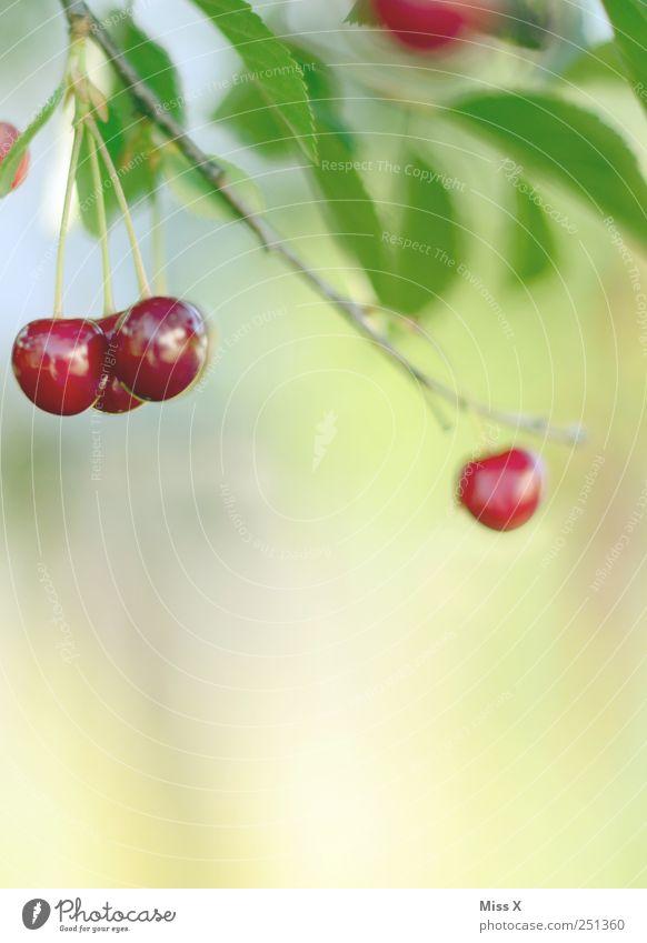 und es war Sommer Lebensmittel Frucht Ernährung Bioprodukte Natur Blatt Garten hängen Wachstum klein lecker rund saftig süß rot Kirsche Kirschbaum Ast Zweig