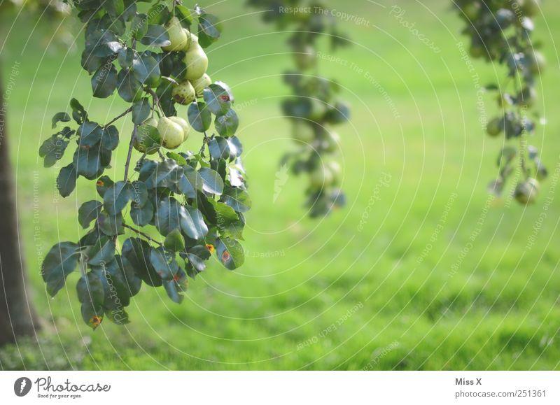 Birne Lebensmittel Frucht Ernährung Bioprodukte Natur Baum Blatt Garten hängen Wachstum lecker sauer süß grün Birnbaum viele Ernte Ast Zweige u. Äste Wiese